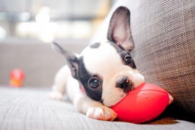 popular dog breeds - boston terrier and basset hound