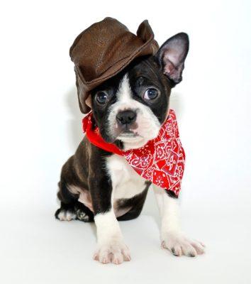 A cowboy boston from American kennel club - breed club for dog sports