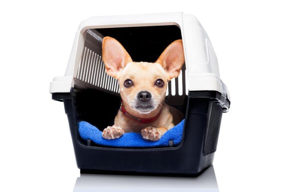 Chihuahua puppy inside crate